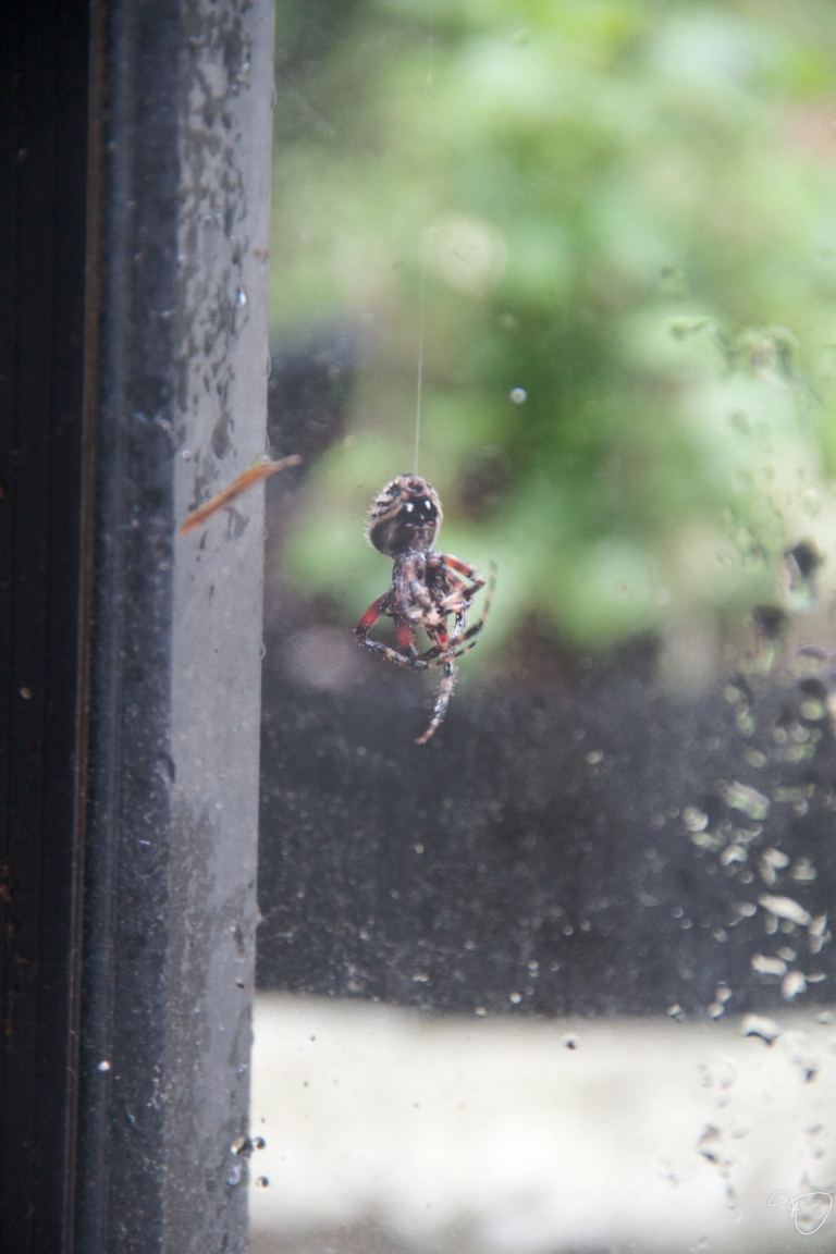 Millicent The Spider Falling From Her Web