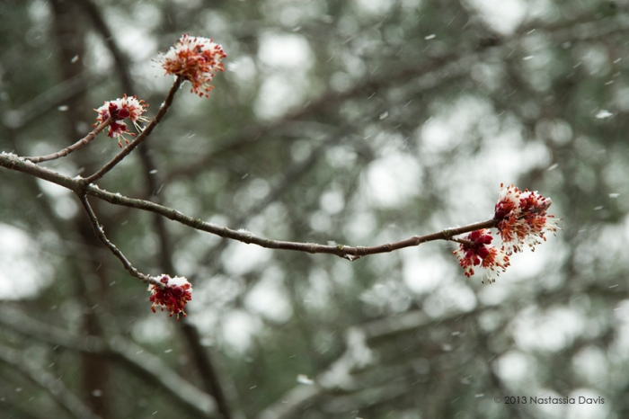 Bowing snow over tree branches and fresh blossoms.