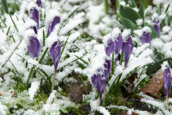 Spring snow on budding crocuses.