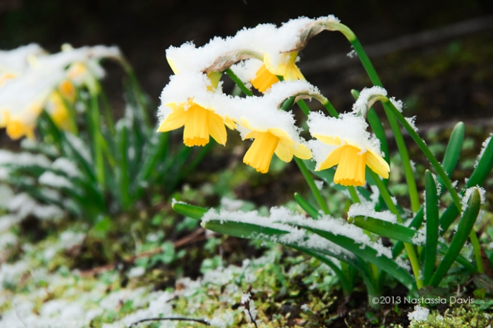 Sad drooping daffodils covered in spring snow.