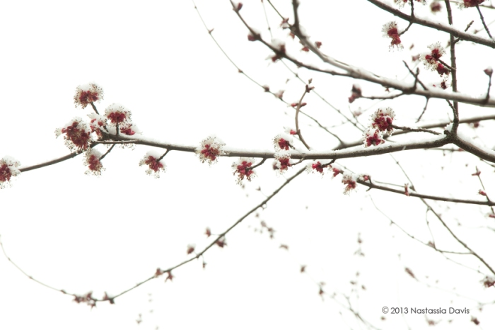 Spring snow fallen on red blooming tree flowers.